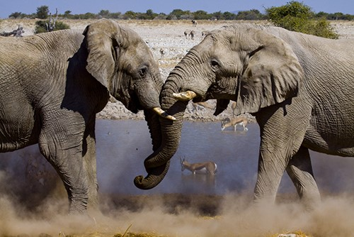 Elephants face few threats in their environment except humans and unlike humans have a genetic makeup that is five times as effective at preventing cancers from forming.