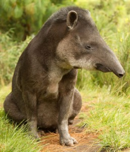 Adult Tapir